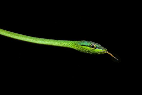 Short-nosed Vine Snake (Oxybelis brevirostris)