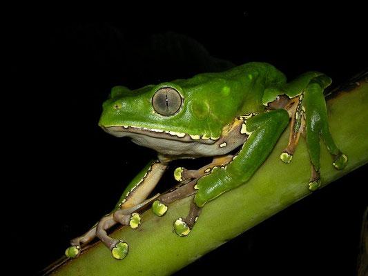 Giant monkey frog (Phyllomedusa bicolor)