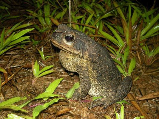 Cane toad (Rhinella marina) calling