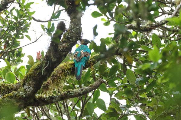 Resplendent Quetzal (Pharomachrus mocinno) female