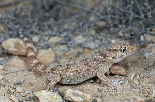 Lichtenstein's Short-fingered Gecko (Stenodactylus sthenodactylus)