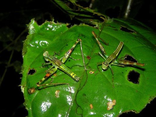 Grasshoppers undet.