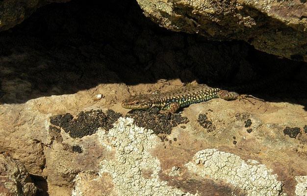 Kars Lizard (Darevskia nairensis)