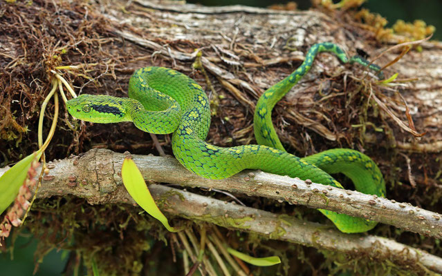 Yellow-blotched Palm Pitviper (Bothriechis aurifer)
