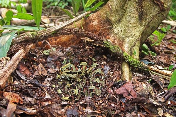 Rhinoceros Viper (Bitis nasicornis)