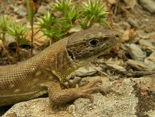 Kurdistan Lizard (Timon kurdistanicus)