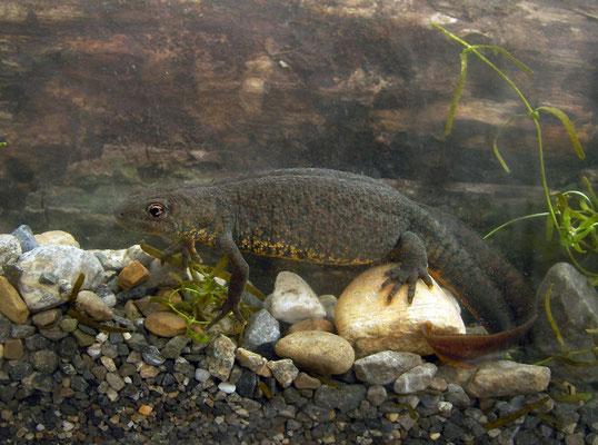 Karelin's Newt (Triturus karelinii) female