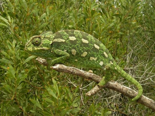 Mediterranean Chameleon (Chamaeleo chamaeleon), Malta, April 2014