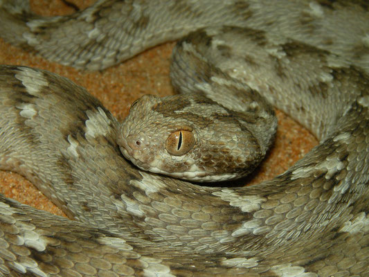 Sindh Saw-scaled Viper (Echis carinatus sochureki)