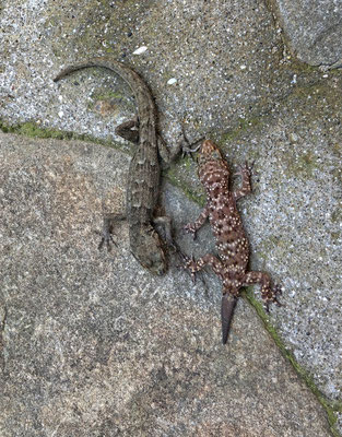 The two gecko species of the island side by side: Oertzen's Gecko (Mediodactylus oertzeni) and Turkish Gecko (Hemidactylus turcicus).