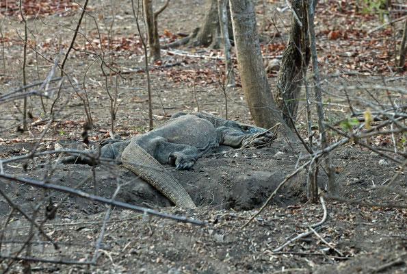 Female Komodo Dragon (Varanus komodoensis) resting on the entrance of the nest.