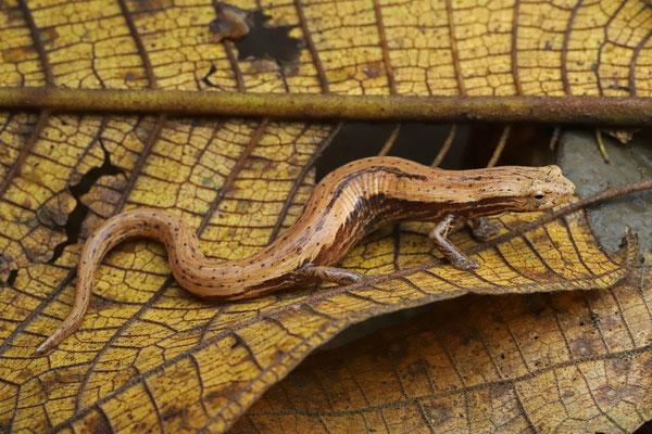 Striated Webfoot Salamander (Bolitoglossa striatula)