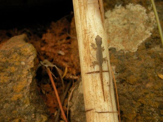 Cape Dwarf Gecko (Lygodactylus capensis) hatchling