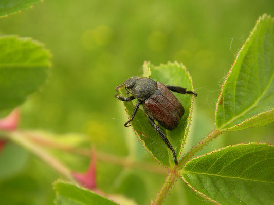 Welsh Chafer (Hoplia philanthus)