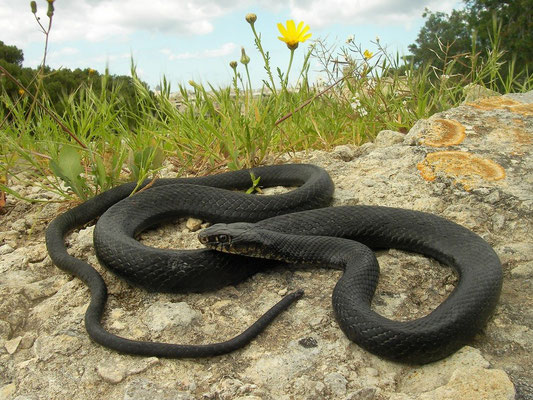 Western Whip Snake (Hierophis viridiflavus), Valletta, Malta, April 2014