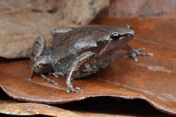 Elegant Narrowmouth Toad (Gastrophryne elegans)