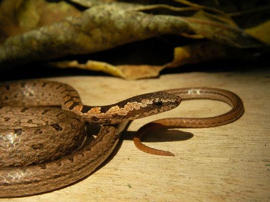 Eastern Bark Snake (Hemirhagerrhis nototaenia)