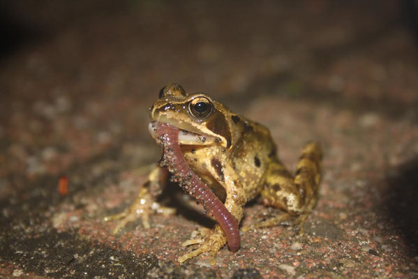 Grass Frog (Rana temporaria) with a late night snack. © Madeleine Wouda