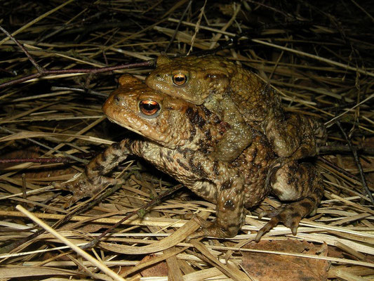 Common Toad (Bufo bufo) amplexus