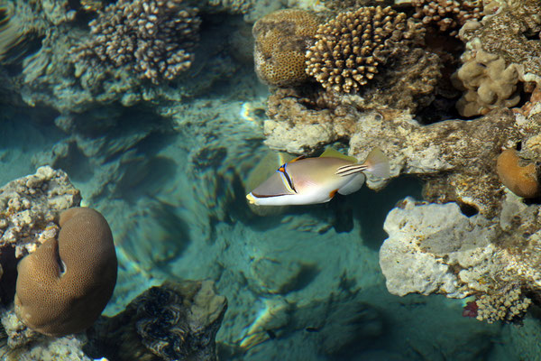 Lagoon Triggerfish (Rhinecanthus aculeatus)