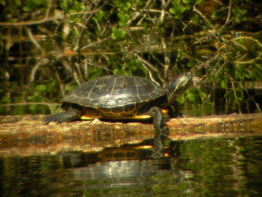 Red-eared slider (Trachemys scripta elegans), Castricum, the Netherlands, April 2012