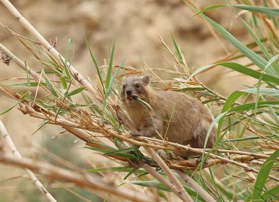 Rock Hyrax (Procavia capensis) having lunch high up in the reeds.