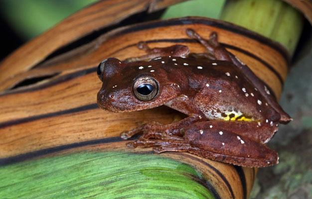 Copan Stream Frog (Ptychohyla hypomykter)