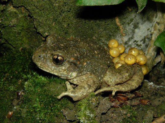 Midwife Toad (Alytes obstetricans) carrying eggstrings.