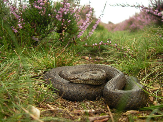 Smooth Snake (Coronella austriaca), Veluwe, the Netherlands, August 2011