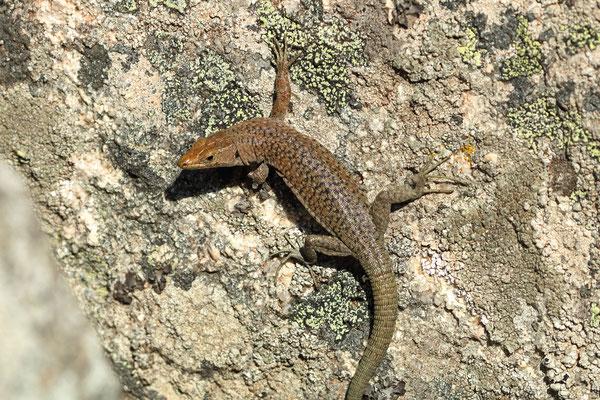 Tyrrhenian Rock Lizard (Archaeolacerta bedriagae)
