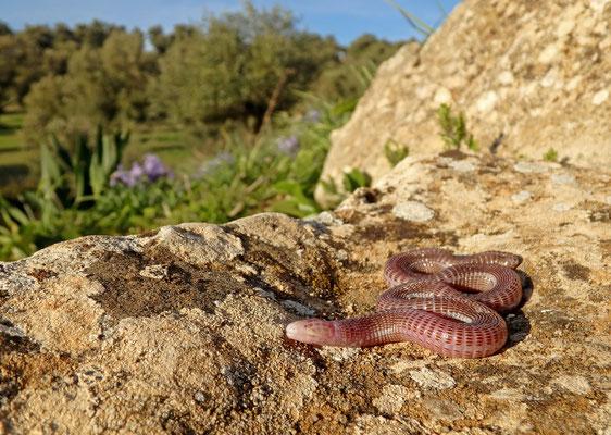 Tangier Worm Lizard (Blanus tingitanus)