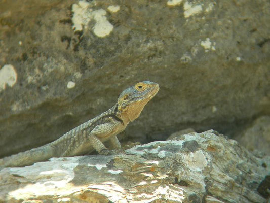 Starred Agama (Laudakia stellio), Dalyan, Turkey, July 2009