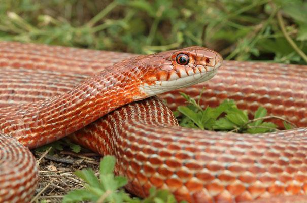 Schmidt's Whip Snake (Dolichophis schmidti) adult