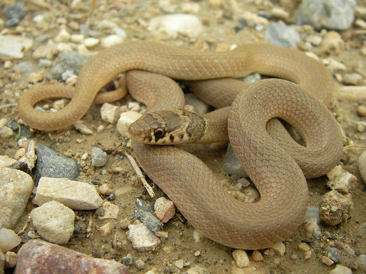 Dwarf Snake (Eirenis modestus), Samos, Greece, October 2009