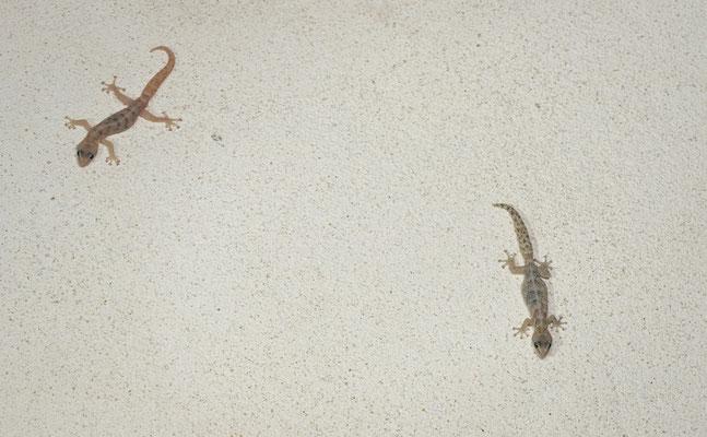 European Leaf-toed Gecko (Euleptes europaea)