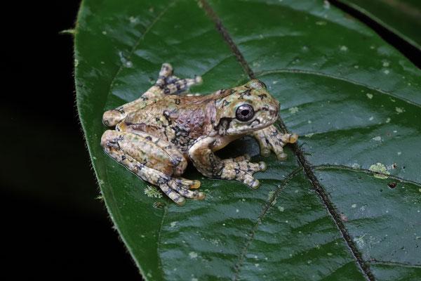 Shaman Fringe-limbed Tree Frog (Ecnomiohyla sukia)