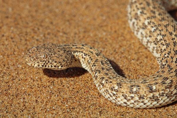 Namib Dwarf Adder (Bitis peringueyi)