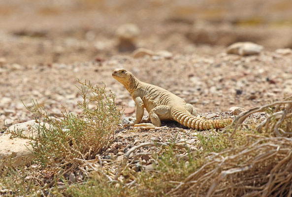 Egyptian Spiny-tailed Lizards (Uromastyx aegyptia)