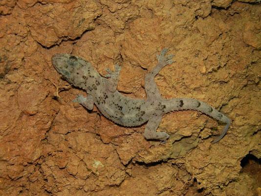 Moreau's Tropical House Gecko (Hemidactylus mabouia)