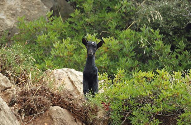 Little goat cub.