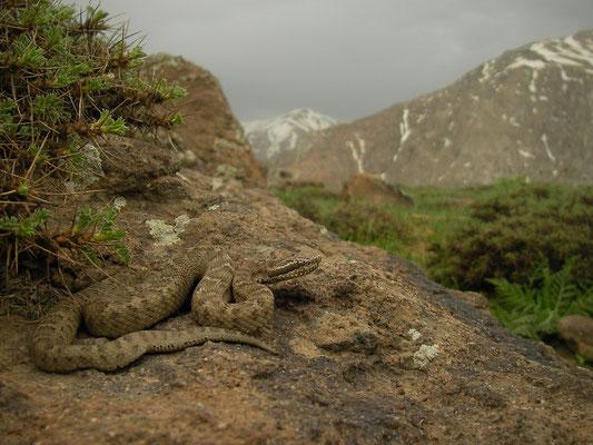 Caucasian Pit Viper (Gloydius halys) in habitat.