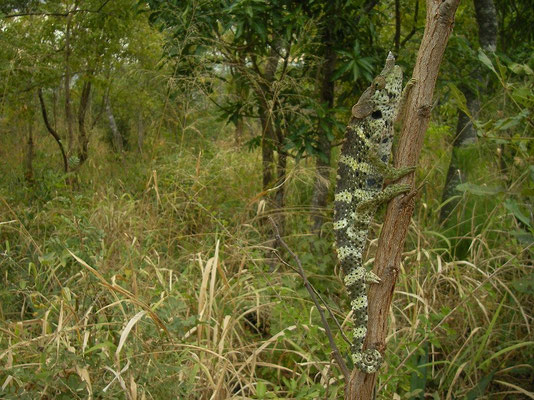 Meller's Chameleon (Trioceros melleri) in its miombo woodland habitat.