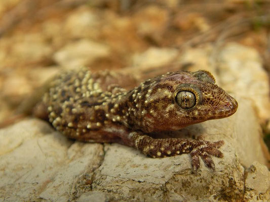 Turkish Gecko (Hemidactylus turcicus), Menorca, Spain, October 2010