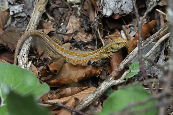 Sand Lizard (Lacerta agilis) hypomelanistic female