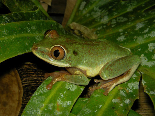 Seychelles Tree Frog (Tachycnemis seychellensis)
