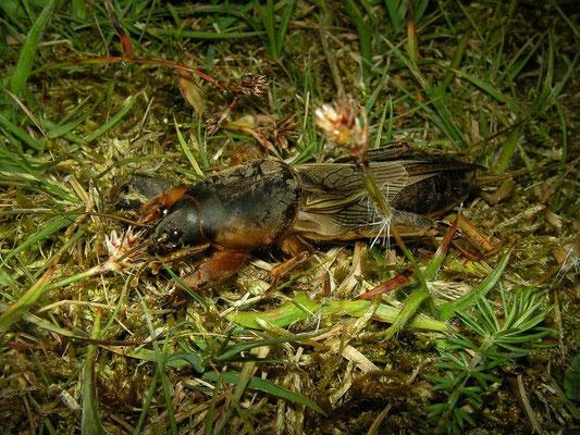Mole Cricket (Gryllotalpa gryllotalpa)
