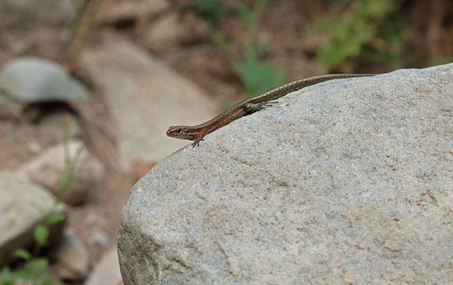 Derjugin's Lizard (Darevskia derjugini) female