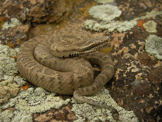 Caucasian Pit Viper (Gloydius halys)