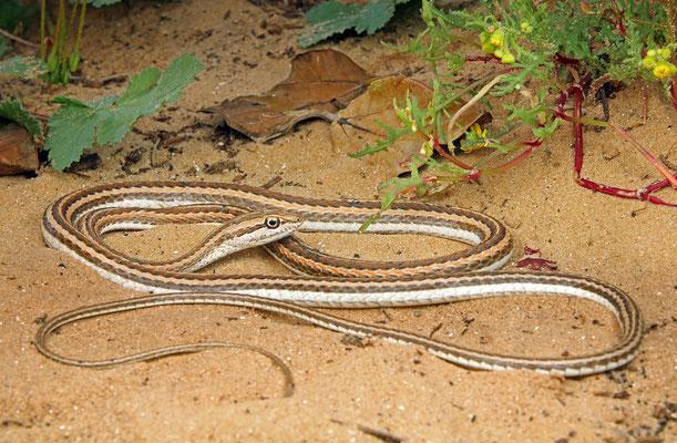 Schokari Sand Racer (Psammophis schokari)