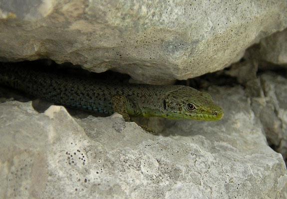 Mosor Rock Lizard (Dinarolacerta mosorensis), Lovcen, Montenegro, July 2012